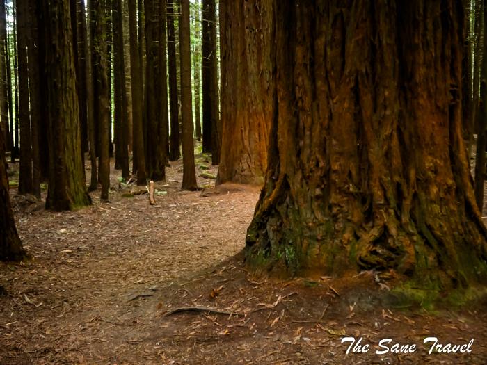 Californian Redwoods in New Zealand