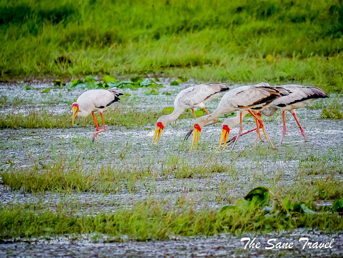 42 yellow billed storks amboseli kenya thesanetravel.com 1500323
